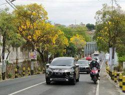Sejukkan Jalanan Kota Batu, Si Kuning Tabebuya Mulai Bermekaran