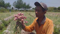 Taufik, salah satu petani bawang merah asal Desa Ngino, Kecamatan Semanding, Kabupaten Tuban memperlihatkan hasil panen bawang merah varietas tajuk. (Foto: Moch Abdurrochim/Tugu Jatim)