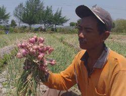 Cerita Petani Bawang Merah di Tuban yang Bisa Raup Untung 50 Persen dari Modal Awal