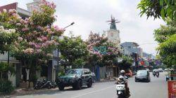 Salah satu spot cantik berhias mekarnya bunga pohon tabebuya di Jalan Diponegoro Kota Batu. Makin cantik dengan latar belakang kincir angin khas Belanda. (Foto: M Ulul Azmy/Tugu Malang/Tugu Jatim)