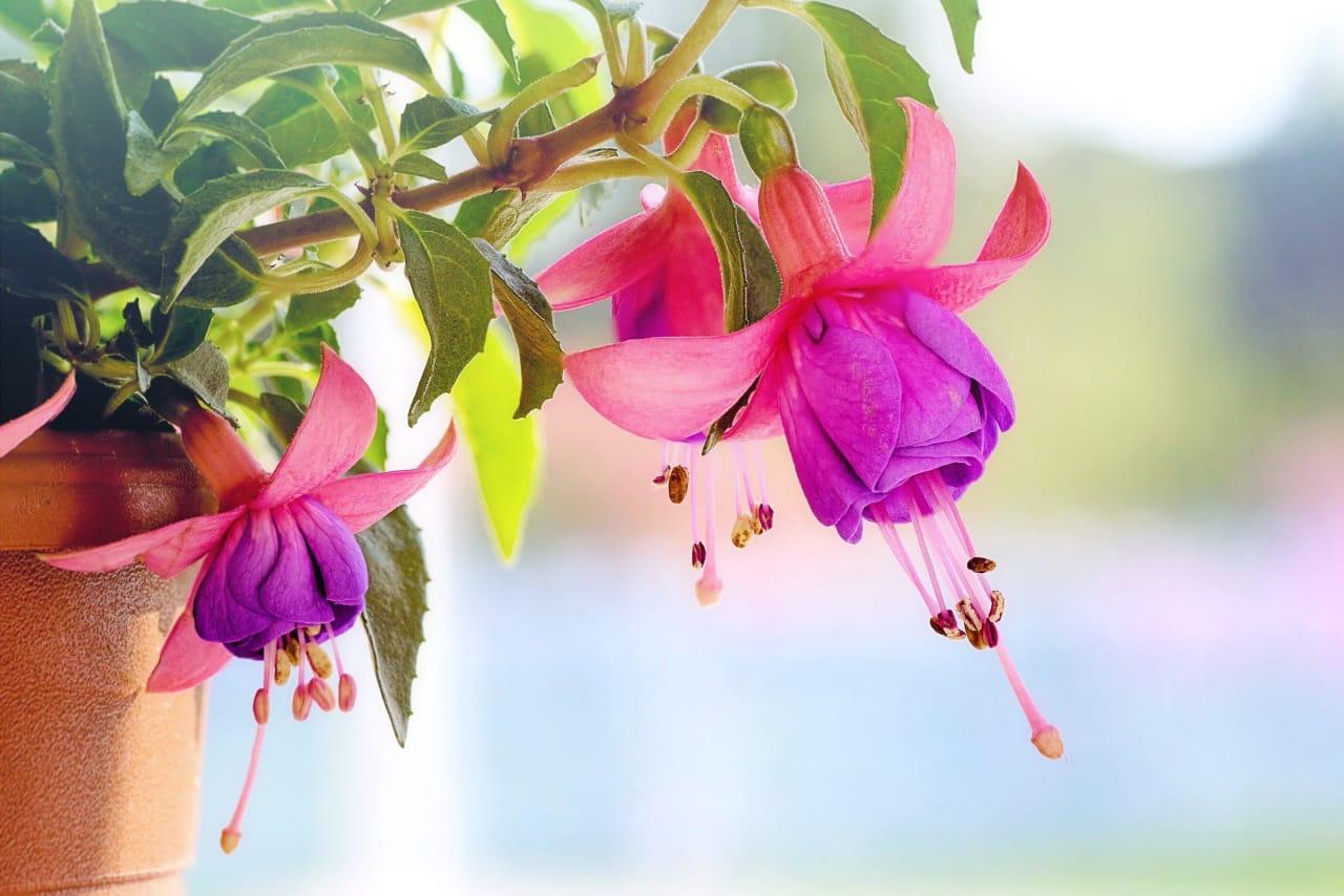 Fuchsia adalah jenis tanaman berbunga yang bisa tumbuh sepanjang tahun. Tanaman ini membutuhkan banyak air, jadi sangat cocok jika ditanam saat musim hujan.